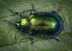 Coleoptera (Beetles)